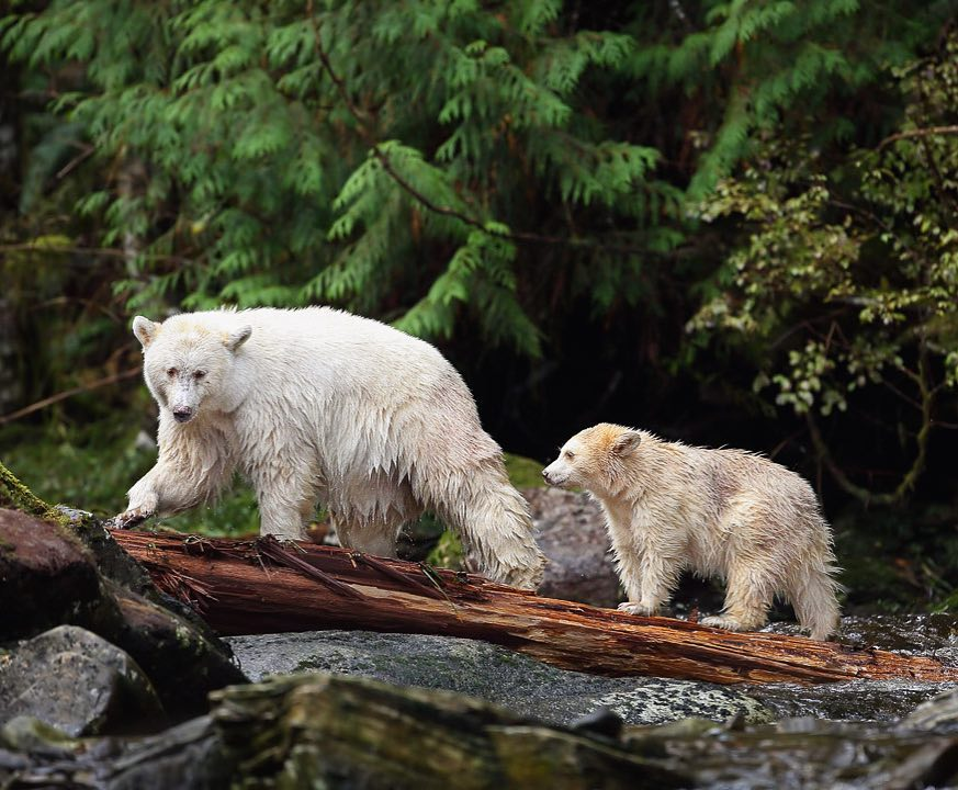 White bear and cub crossing a stream on a log, photographed by Melissa Groo and featured in One Shot for Coastal Carnivores exhibit benefiting Raincoast