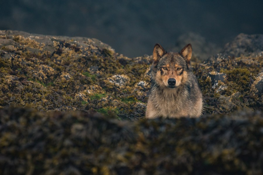 A wolf rests in the intertidal zone.