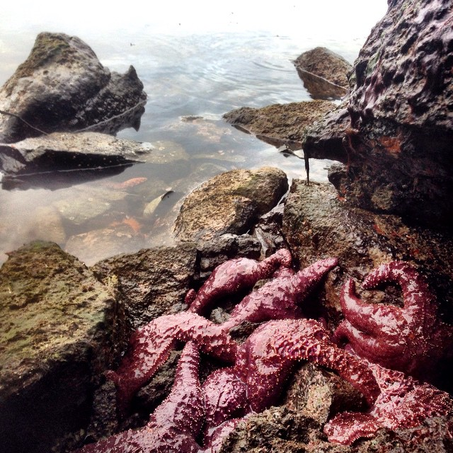 Starfish in the Great Bear rainforest at low tide
