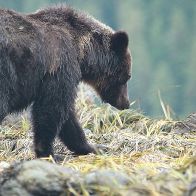 Bear viewing generates ten times more economic activity than bear hunting