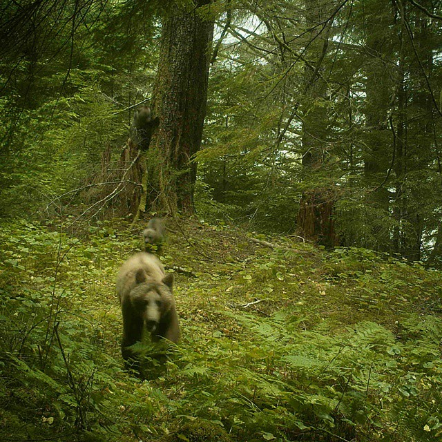 a female bear and her two cubs head to the river from the forest