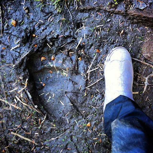 Bear tracks lead the way