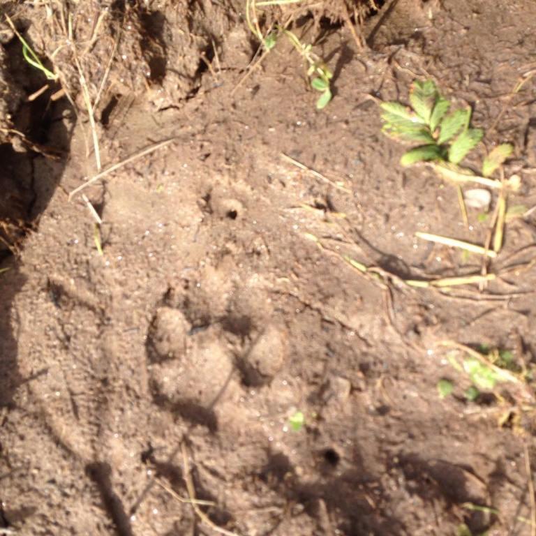 Found wolf tracks