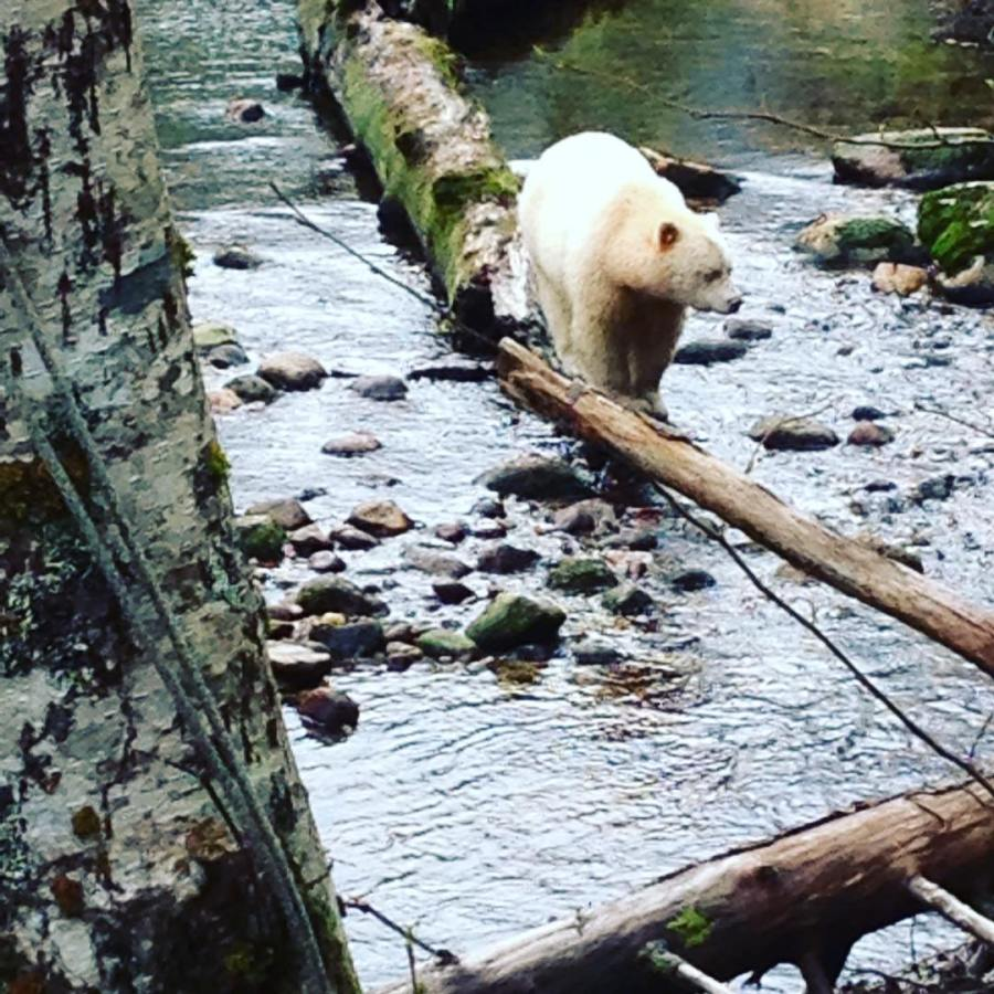 White grizzly also known as spirit bear walking on a log across a river strewn with stones