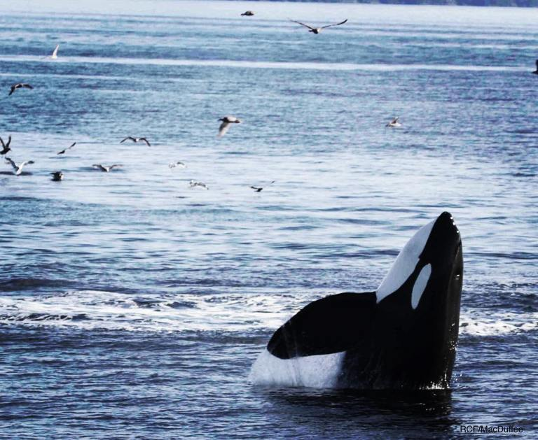 The Southern Resident killer whale orca