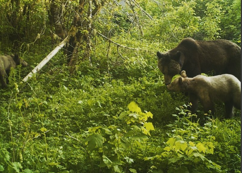 Two grizzly bears in a green forest in Wuikinuxv Territory