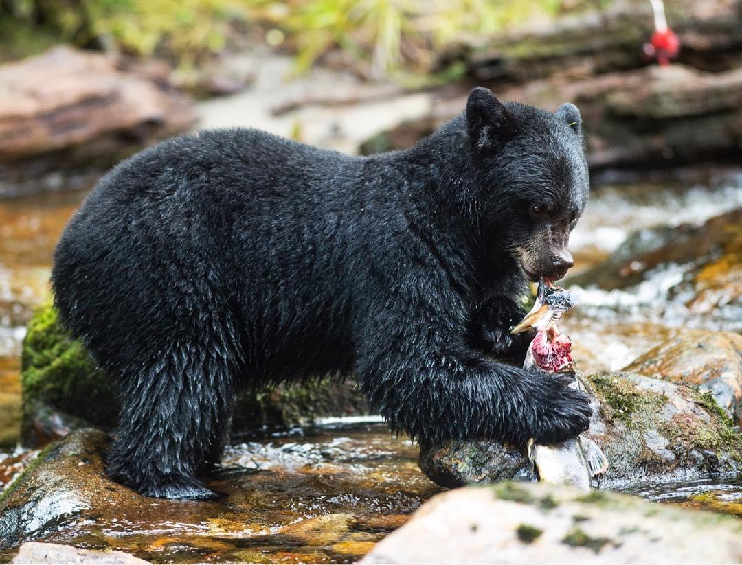 A black bear tears open a salmon in the stream.