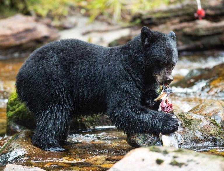 Biodiversity matters: diversity of salmon species is more important to black bears than simply the total amount of salmon