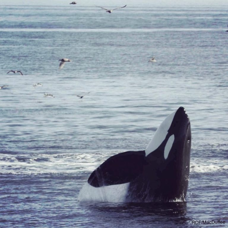 Endangered species Southern Resident Killer Whales