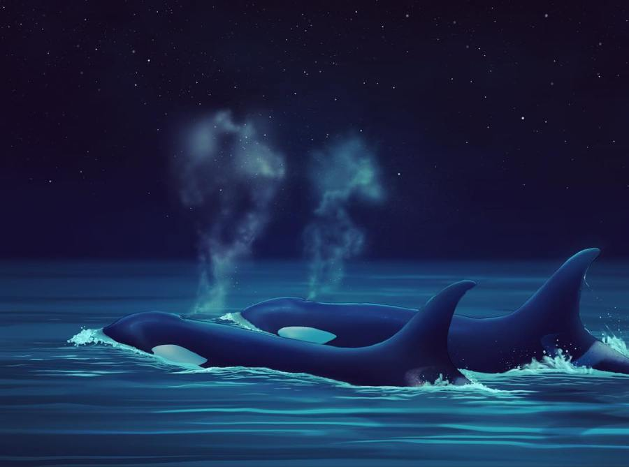 two killer whales with water spouting out of their blowholes swim side by side in dark waters