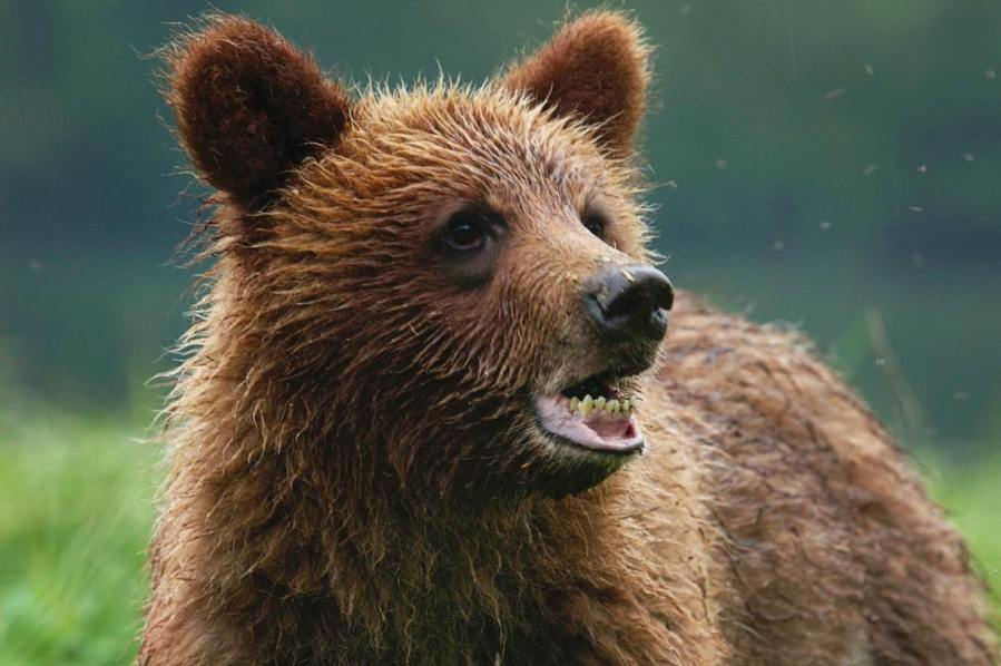 Brown grizzly bear with mouth partially open
