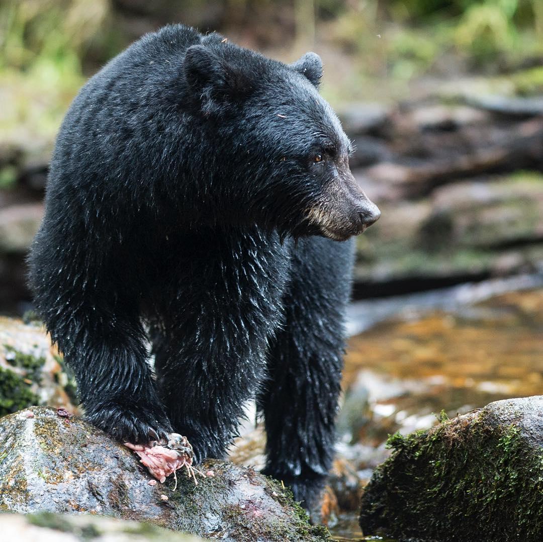 Black bear caught mid motion on a rock.