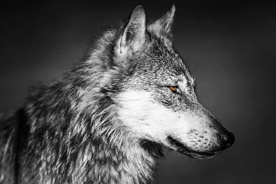 A beautiful wolf in black and white, just the head of the wolf in profile.