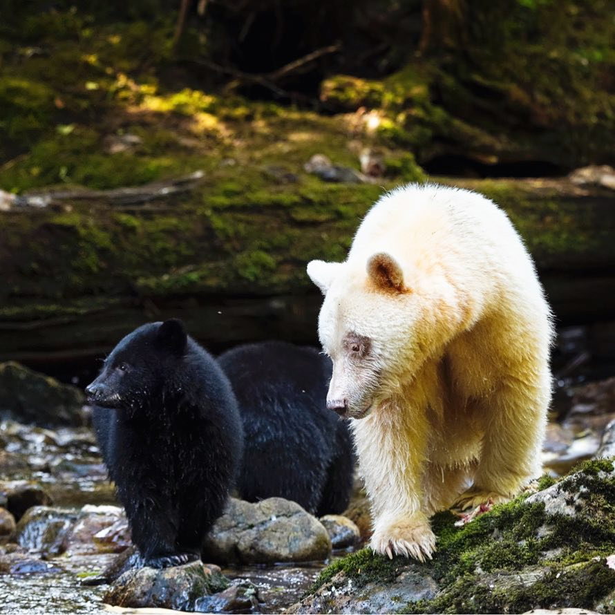 A black bear and a spirit bear walk side by side in the Great Bear Rainforest.