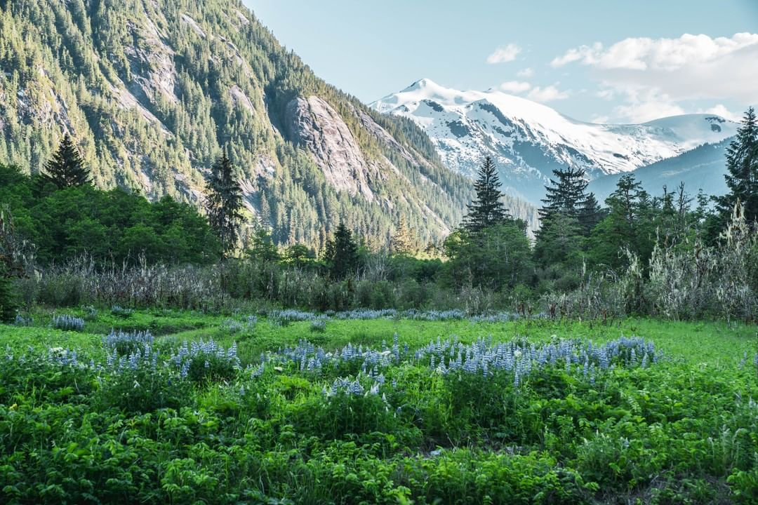 A lush meadow with purple and green foliage in front of snowy mountains and a blue sky.