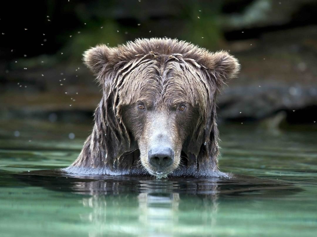 A grizzly bear's head sopping wet emerging from a clear body of water.