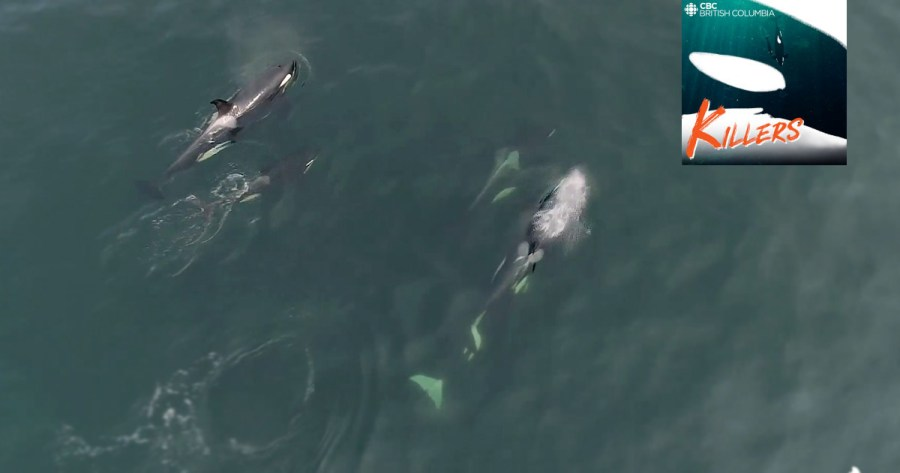 Aerial view of Southern Resident killer whales in the Salish Sea, with CBC podcast logo in the foreground.