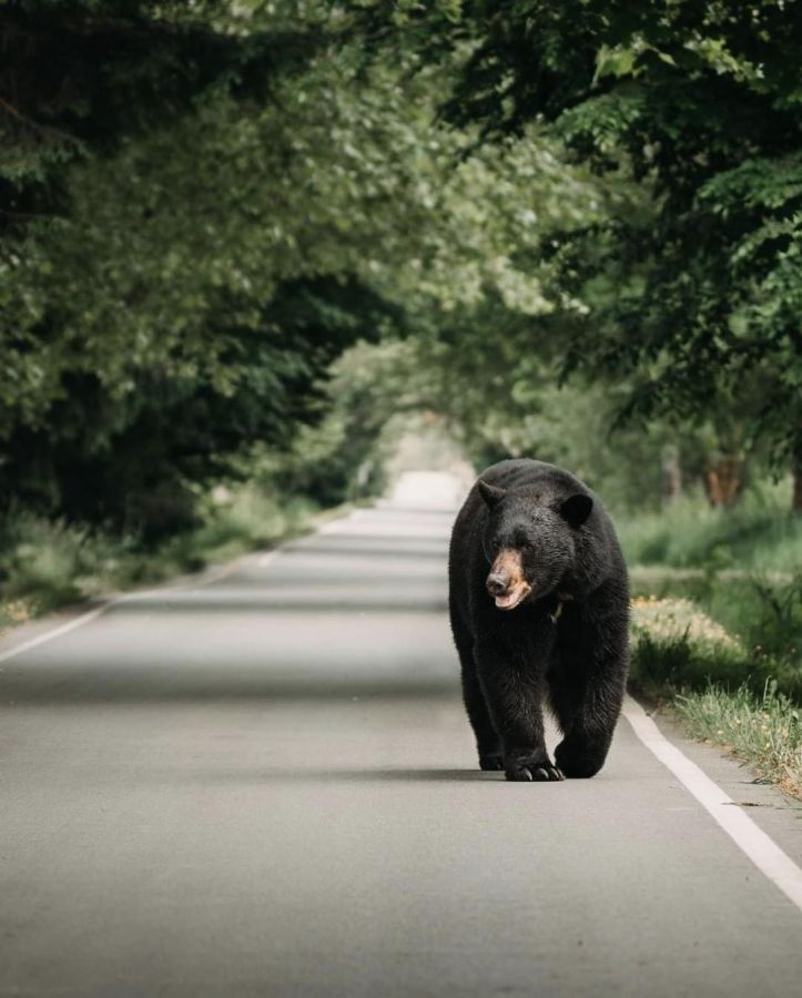 A black bear walks along a paved road with forest on either side.