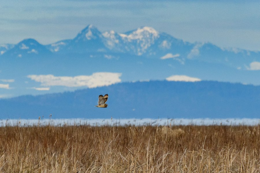 A short eared owl flies over the Fraser River.
