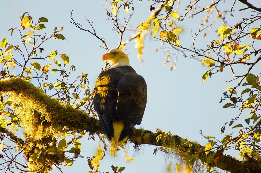Bald eagle majestically sits atop a branch with bright fall blue sky in the background