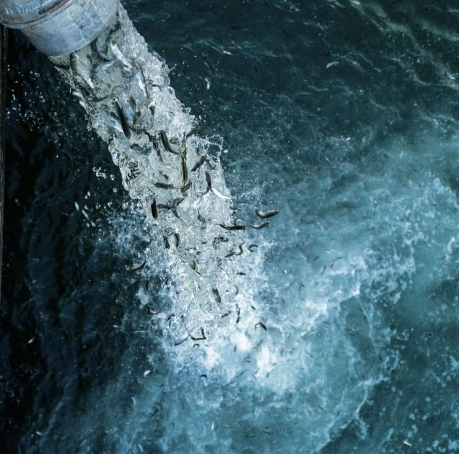 A column of water with many salmon is pouring into the blue churning waters of the ocean.