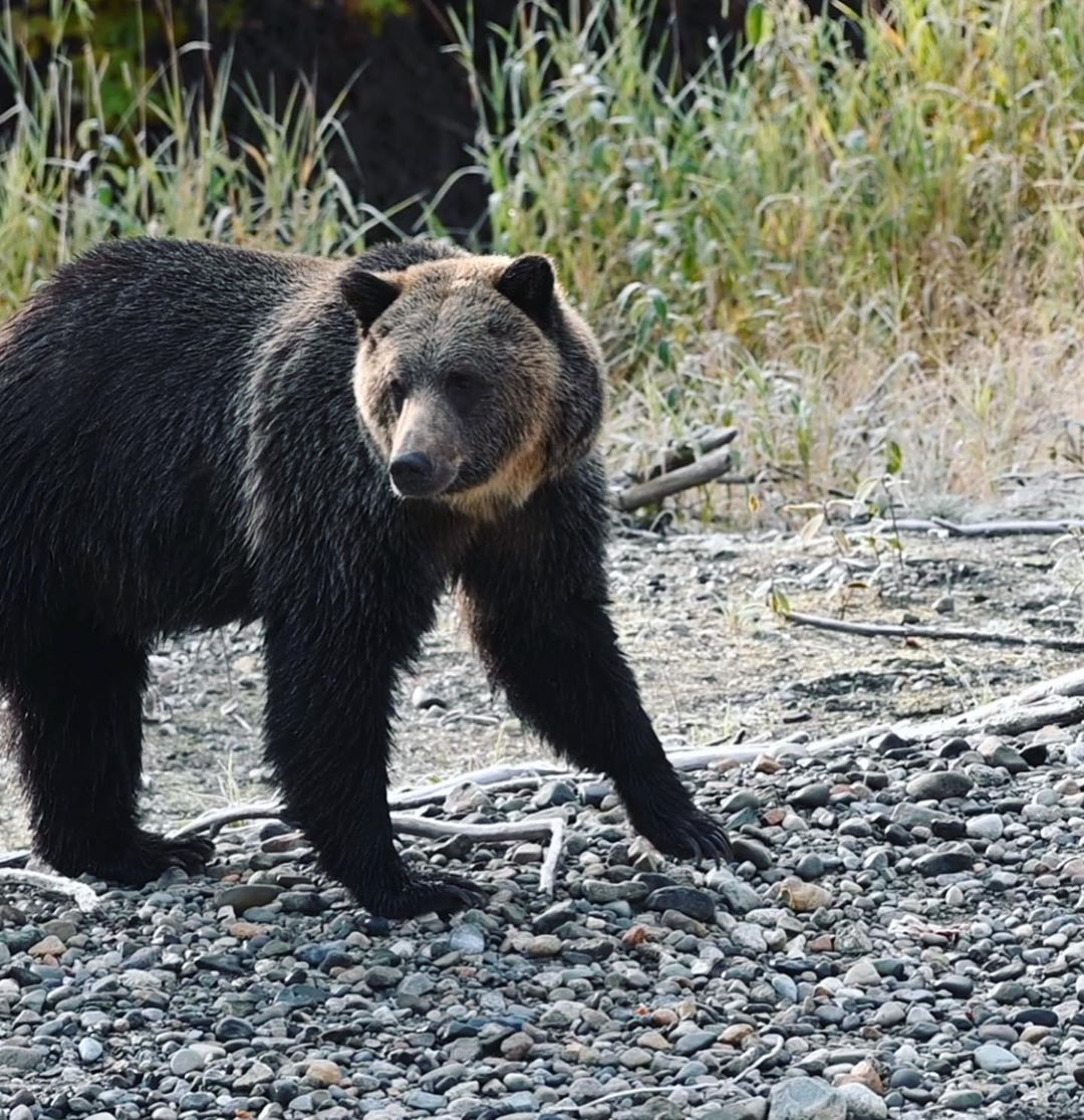 Grizzly bear walking on all fours on gravelly stones looking at the left of the camera