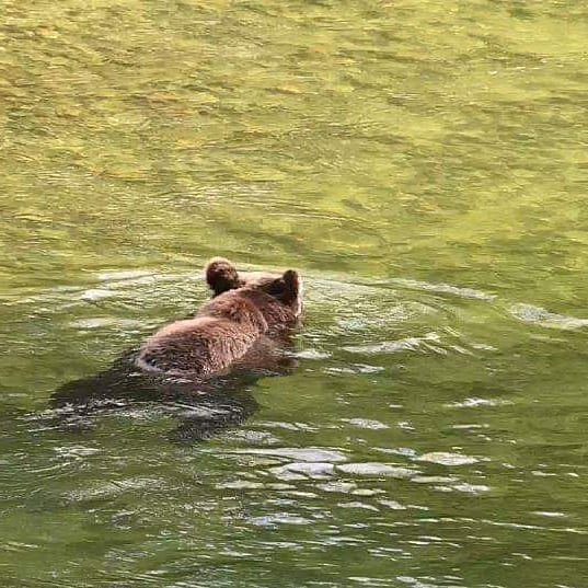 Back of brown grizzly bear's head and shoulders visible as it swims across green water