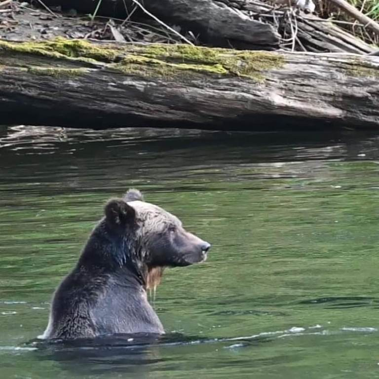 Studying effects of ecotourism on grizzly bears