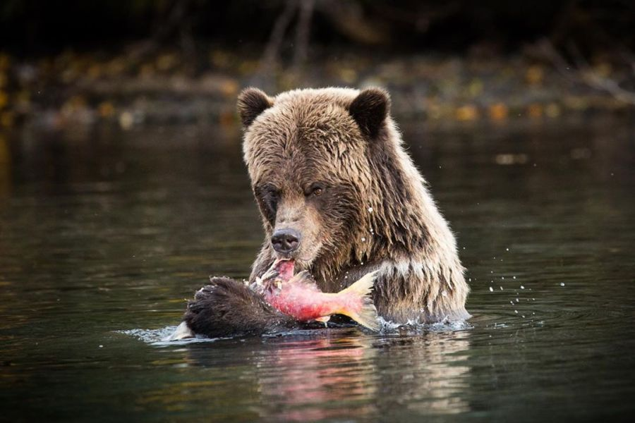 Brown bear standing head and shoulders above shallow green water holds pink salmon in its hand ready to be eaten