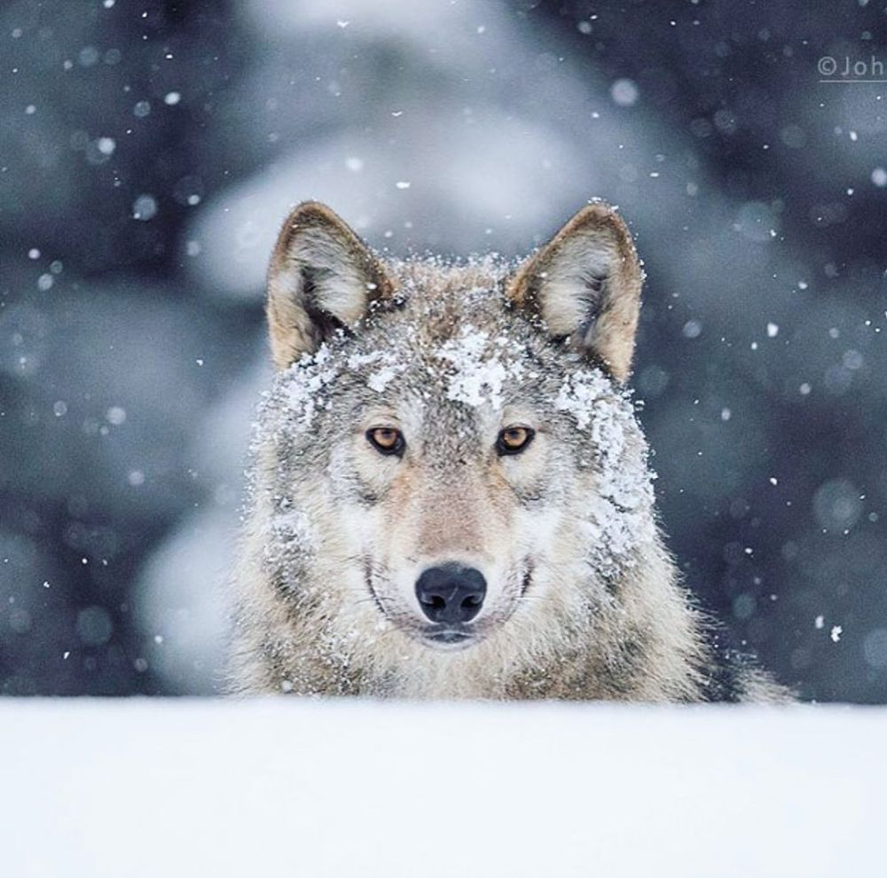 New study by Raincoast on impact of human development on wolves