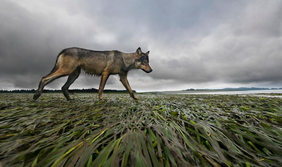 Grey wolf walking across green rushes with a stormy blue grey sky in the back