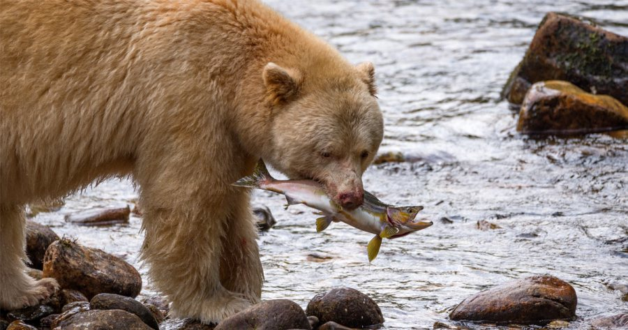 Spirit bear to the left of picture holds a pink salmon that is still alive in its mouth, as it stands on rocks near flowing silver water.