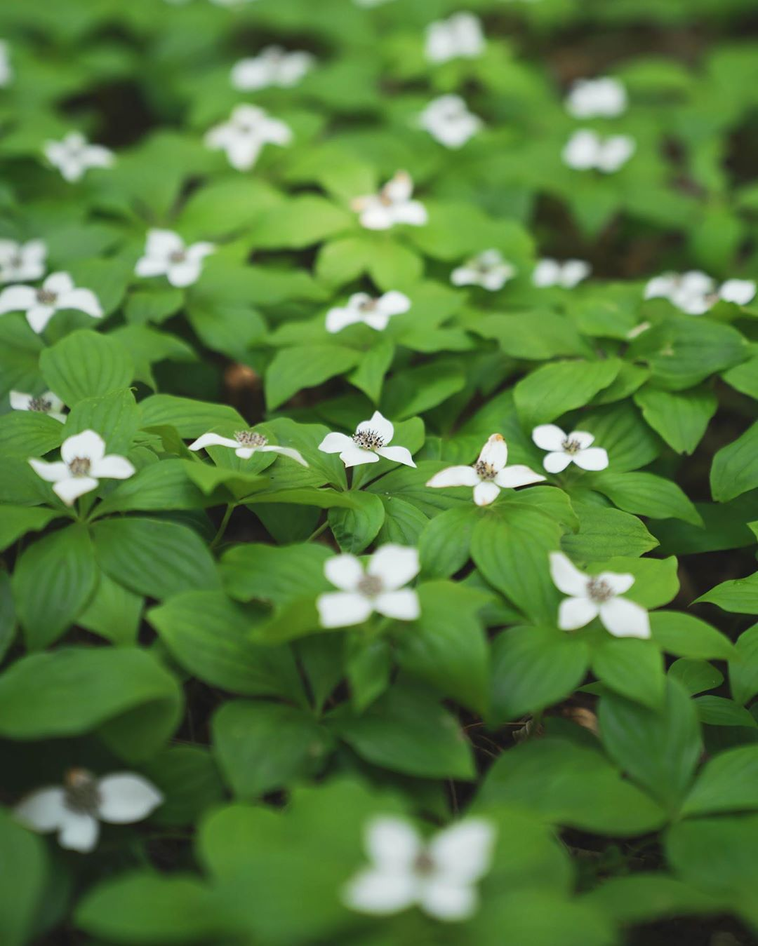 Bunchberry flowers, little white four petaled flowers dotted over green vegetation