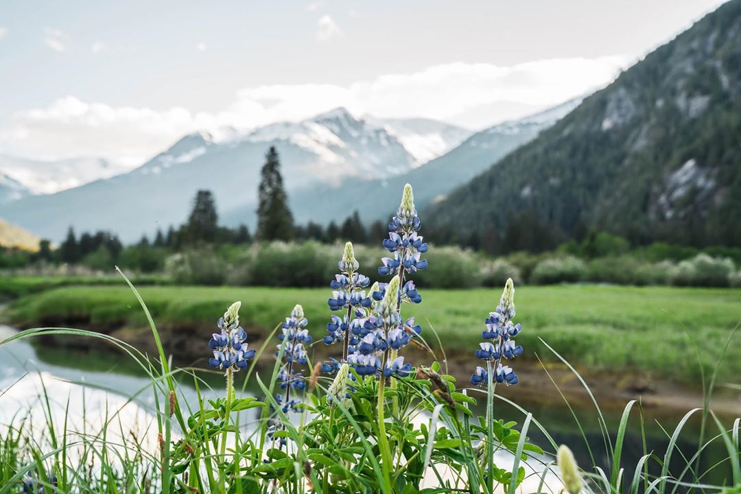purple wildflowers foregrounded with snow capped peaks in the background
