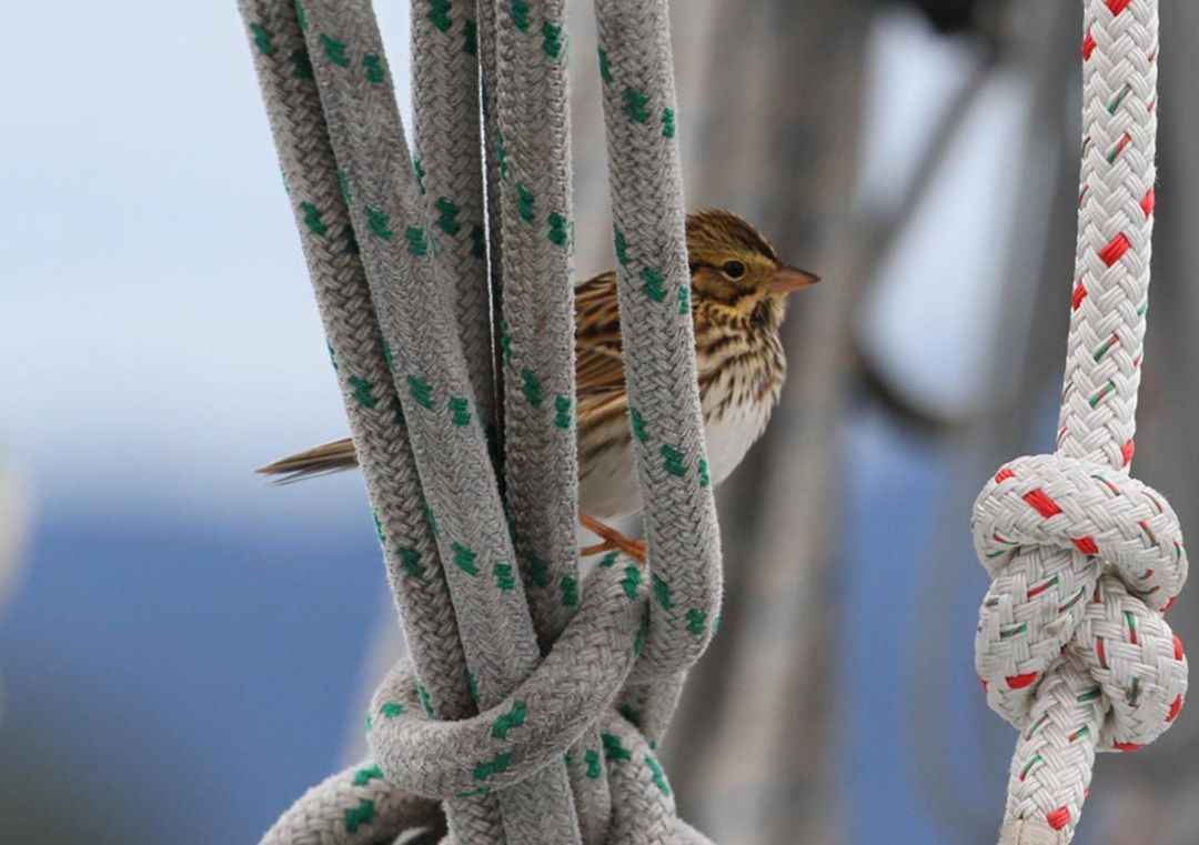 Sparrow sits among the white rigging of a boat