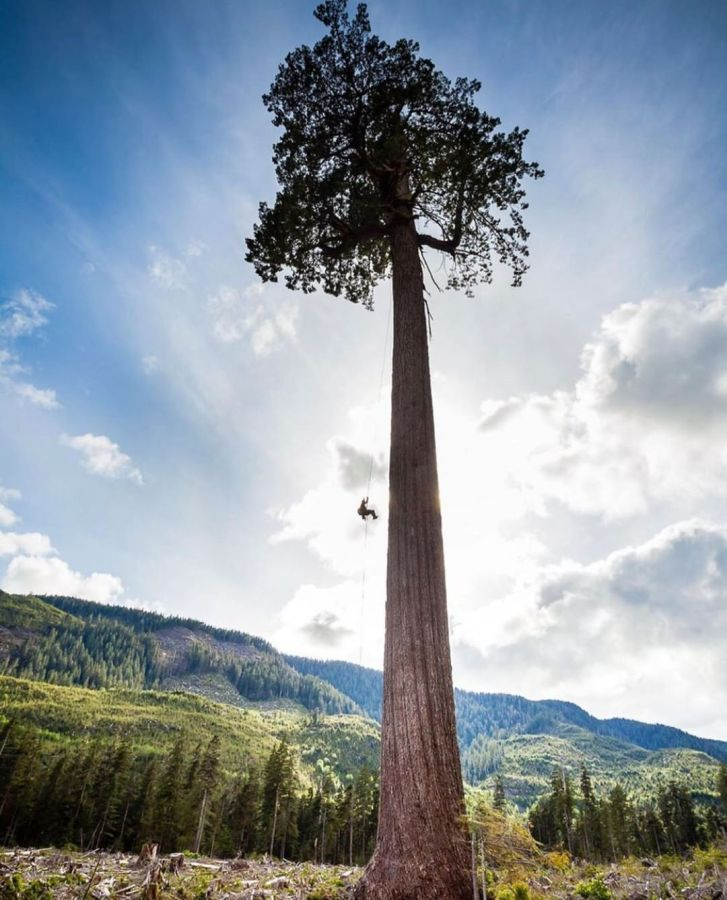 A huge tree with red brown trunk and a green dome of leaves stands tall in the foreground in front of bright blue skies and a forested mountain. One person is seen swinging from a rope in the tree half way up, looking very small compared to the tall trunk.
