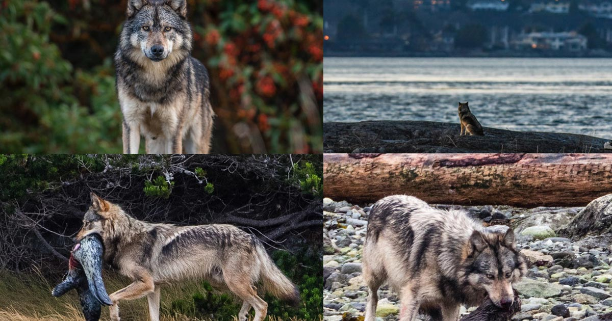 Collage of wolf photos, Staqeya, from a figure in Ecology article.