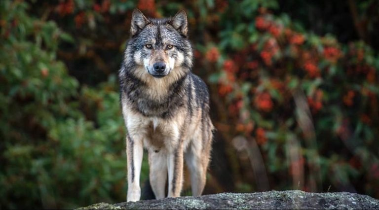 Staqeya, the lone wolf of Discovery Island, was killed