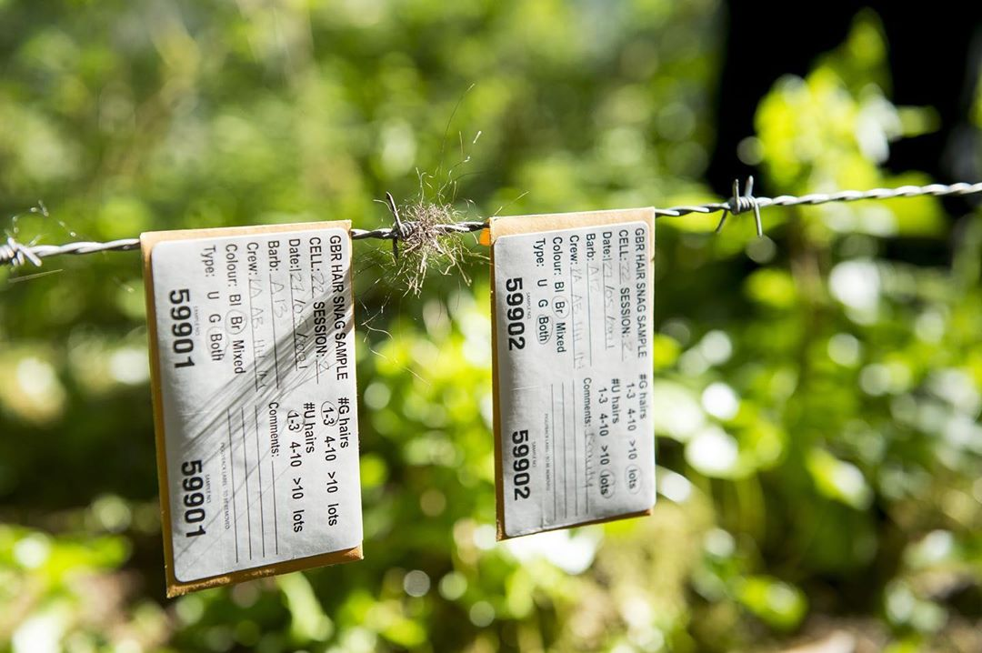Close up of two tags with numbers and written information about samples hanging next to hair samples on a trip wire for bear research, with green leaves blurrily visible in the background forest