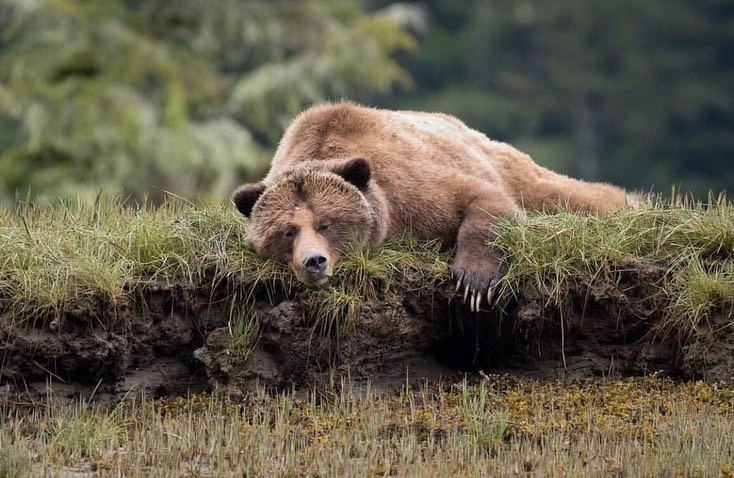 Beautiful brown grizzly bear sleeping with its chin down in the Great Bear Rainforest