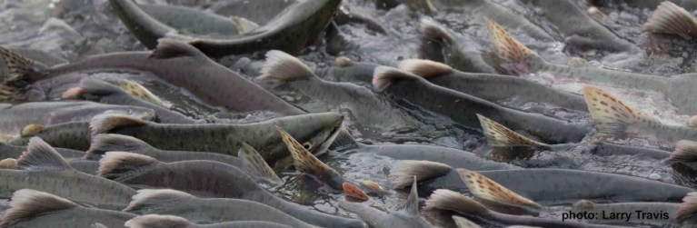 Fisheries Management and Canada's Wild Salmon Policy
