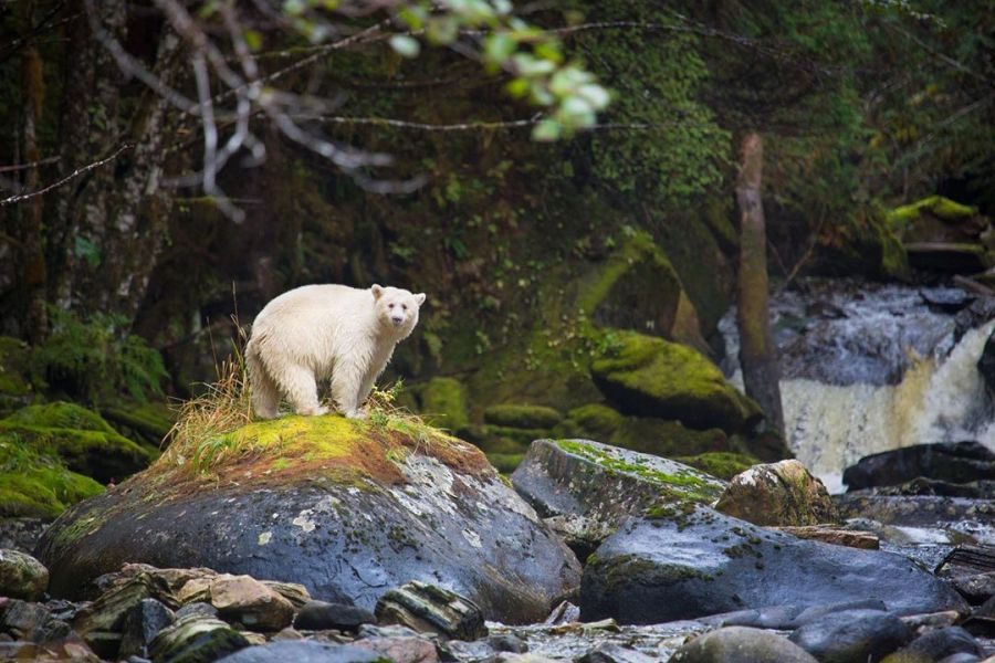 Spirit bear on all fours stands atop a bright green and brown moss covered boulder at the edge of water in the Great Bear Rainforest.