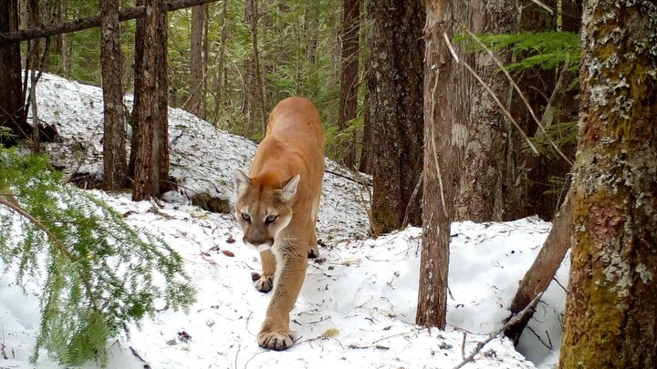 A beautiful tan brown mountain lion caught mid-pace, on snow covered slopes within a forest.