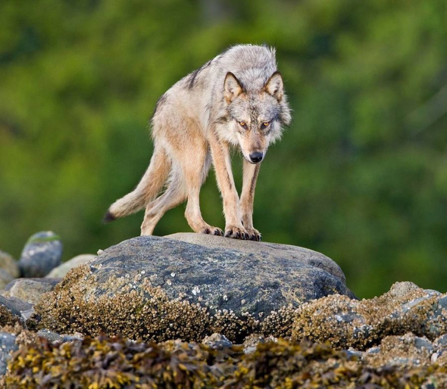 A beautiful light brown wolf looks down from a rock slab that it stands on, with green blurred forest behind it