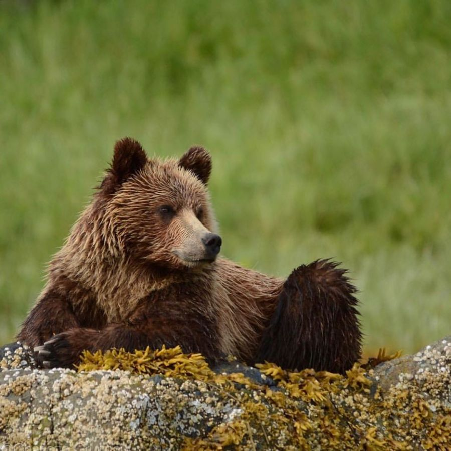 A beautiful dark brown grizzly bear sits on a moss covered rock in a majestic pose with green grass blurred in the background