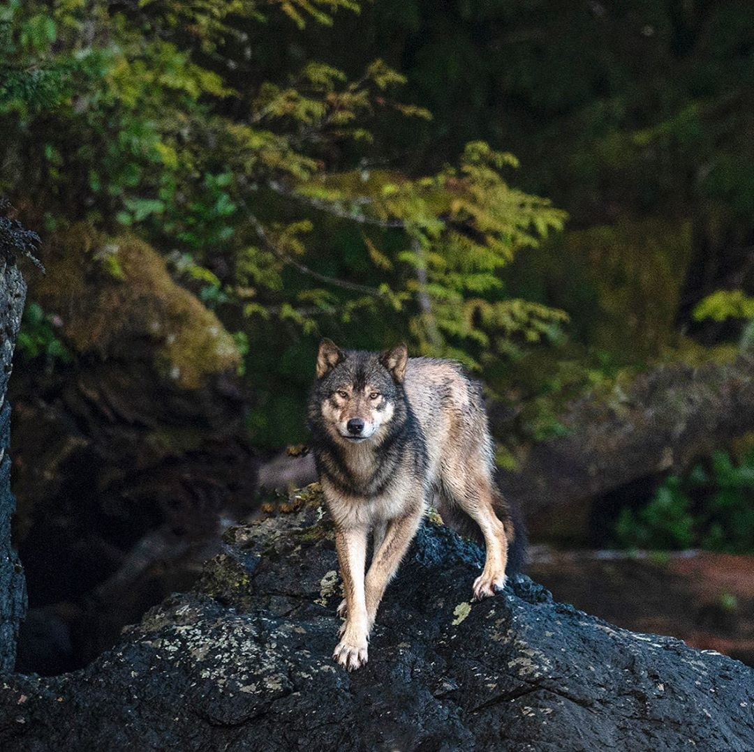 A beautiful image of a brown wolf standing poised center on a black wet rock looming out of the dark green forest behind.