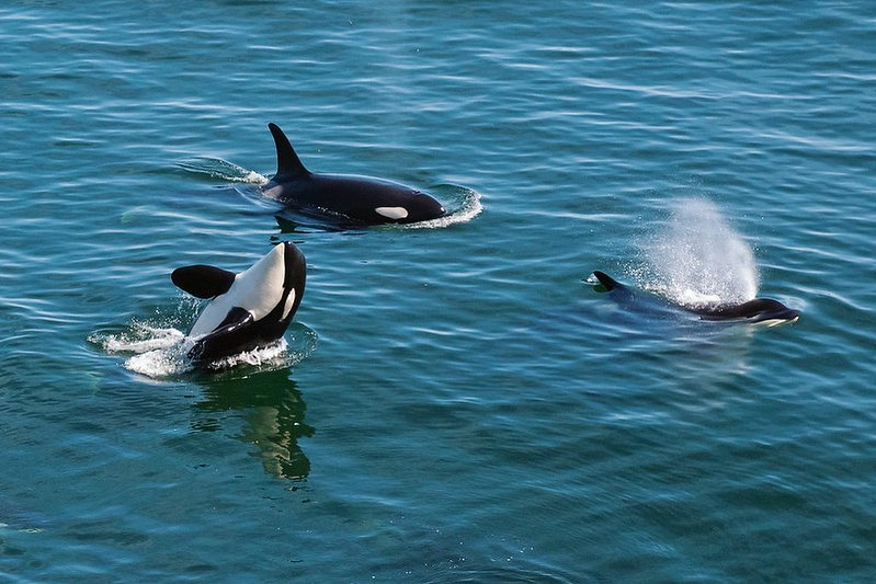 Three orcas seen in the photograph, partially out of the blue ocean, spouting water, one is mid turn with its white belly showing