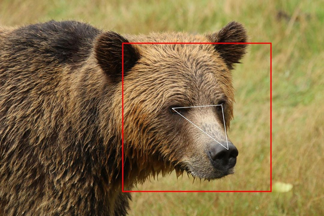Grizzly brown bear with a close up of its face and a red rectangle around its head, an inverted thin white triangel around its eyes and noce drawn over the photograph