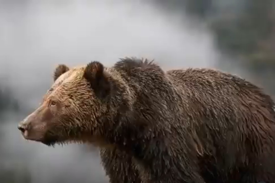 Beautiful dark brown bear stands in the rain on all fours, with white mist rising in the background.