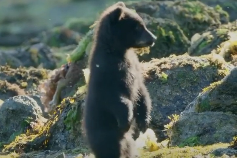 An adorable bear cub with fuzzy black fur stands upright with ears cocked looking off to the side in front of rocks